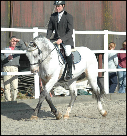 Xhogun Middelsom Knabstrupper stallion