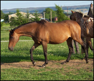 Harmony Dawn Thoroughbred mare