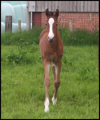 Blacklaw Cherry 2008 filly by Dramiro