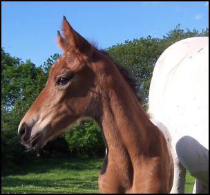 Knabstrupper filly at one day old