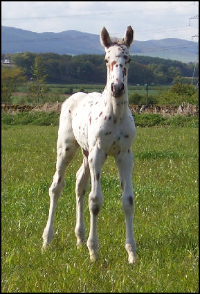 Xcalibur Knabstrupper foal