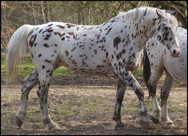 Xanthos Knabstrupper stallion