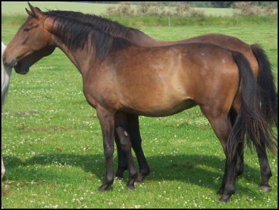 Blacklaw Xing Xing Knabstrupper filly