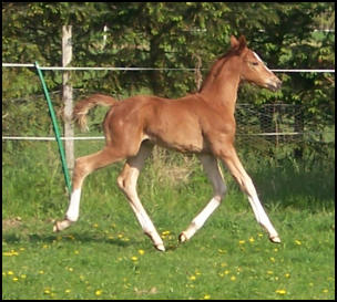 Quaterback x Weltmeyer filly foal