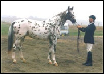 Xantast Middelsom KNN 126 Knabstrupper stallion. Click to visit KNN stallion list.